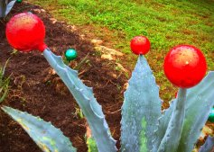 Christmas Agave Red