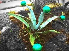 Christmas Agave Green